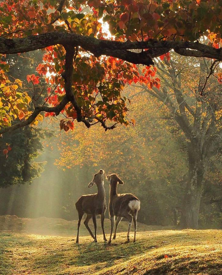 Сърни сред  лъчи в гората