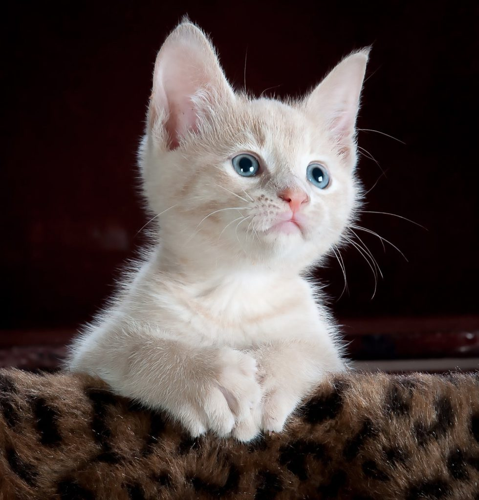 Бяла котка