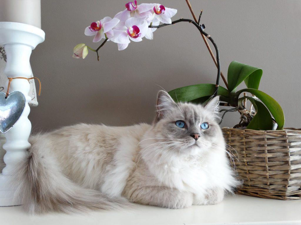 Бяла котка със сини очи