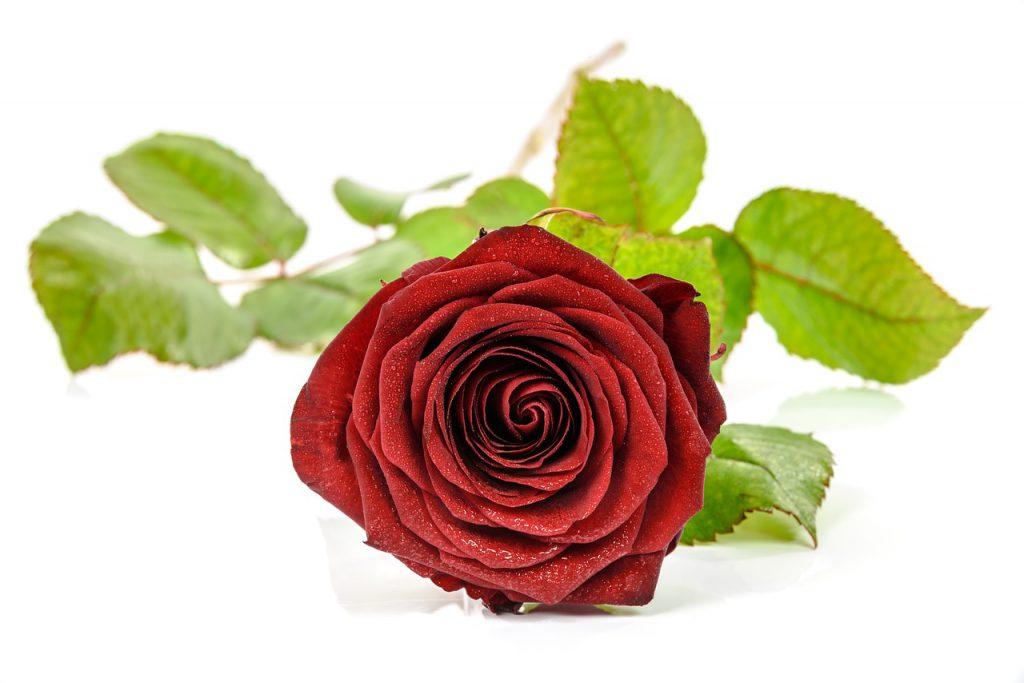 Роза с листа
