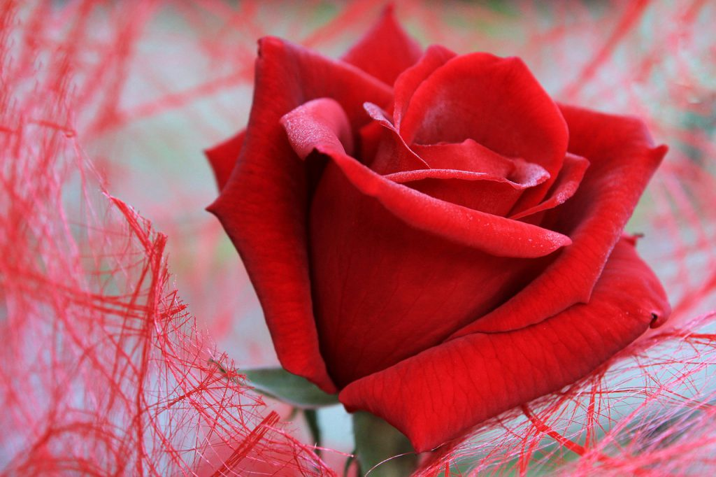 Красива роза