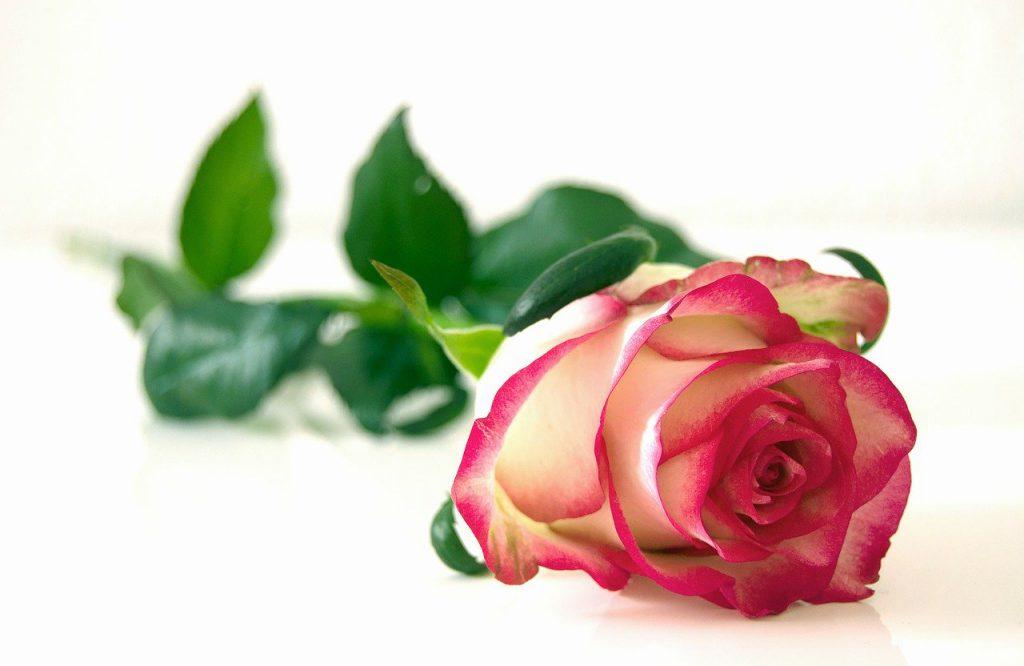Една роза