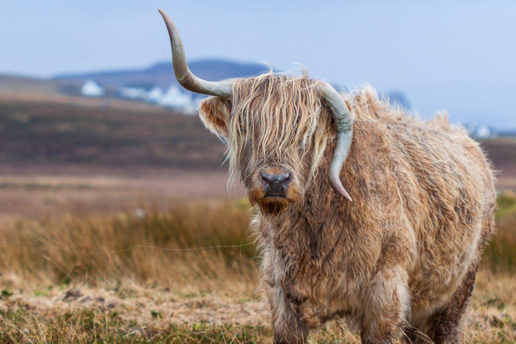 Много смешен бивол с обърнати рога