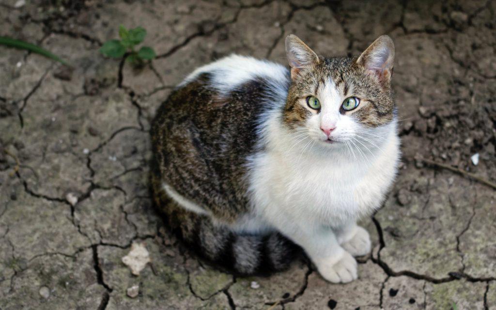 Кривогледа котка