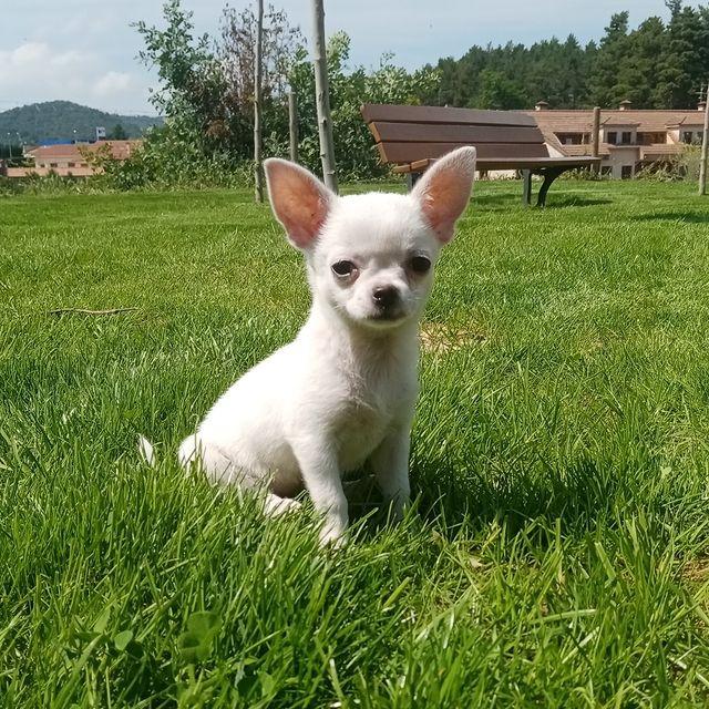 Бяло кученце