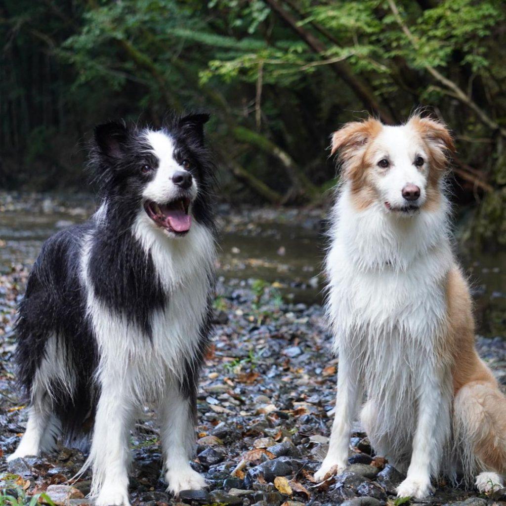Кучета с дълъг косъм